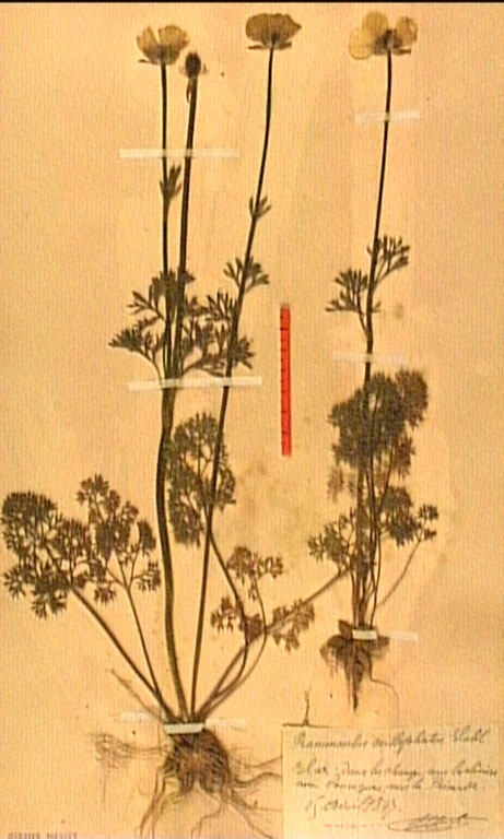 Ranunculus millefoliatus.JPG