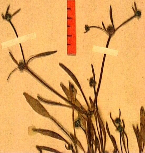 Ranunculus nodiflorus feu2.JPG
