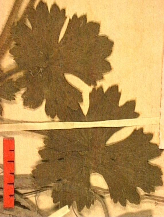 Ronunculus macrophyllus feuil.JPG