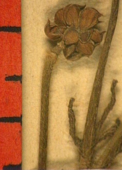 Ronunculus macrophyllus fruit.JPG