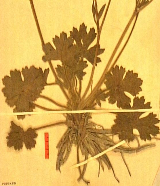 Ronunculus macrophyllus racine.JPG