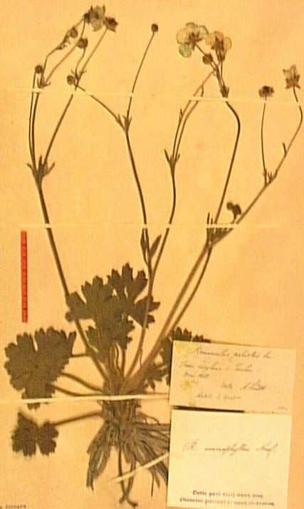 Ronunculus macrophyllus.JPG