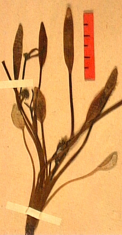 Ranunculus nodiflorus feu.JPG