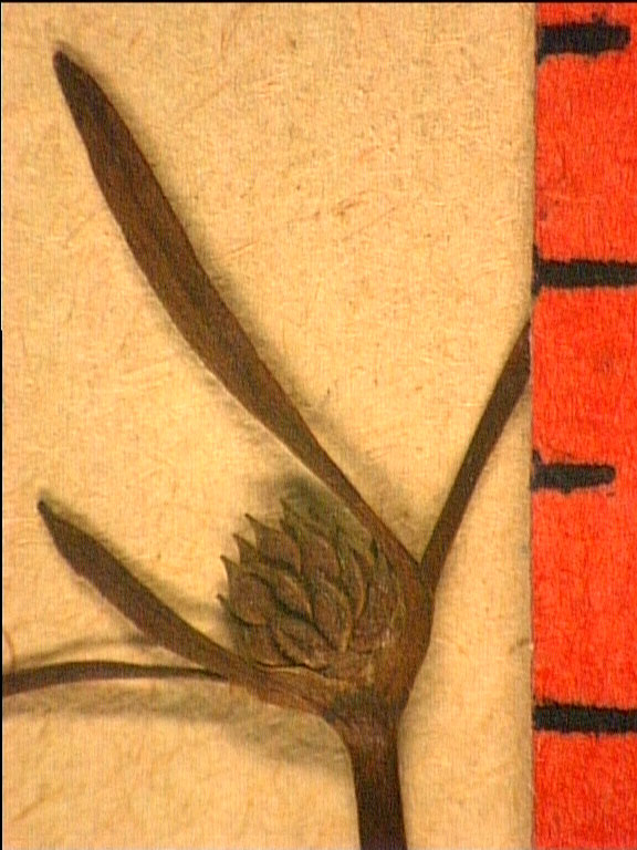 Ranunculus nodiflorus frui.JPG