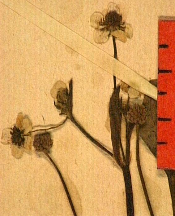 Ranunculus ophioglossifolius fle.JPG