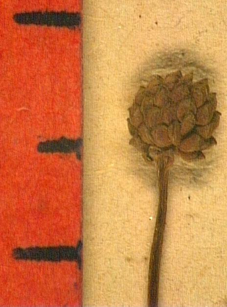 Ranunculus ophioglossifolius fru.JPG