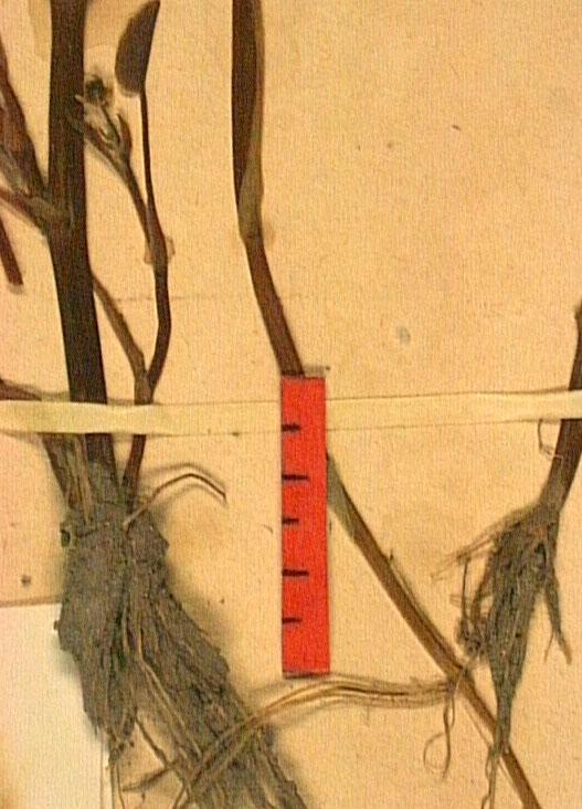 Ranunculus ophioglossifolius ra.JPG