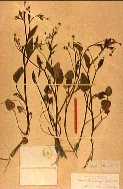 Ranunculus ophioglossifolius.JPG