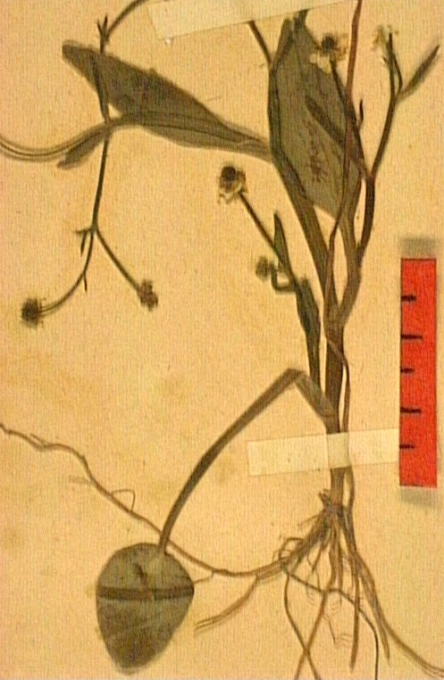 Ranunculus revelieri fe.JPG