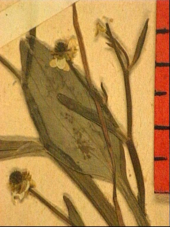 Ranunculus revelieri fle.JPG