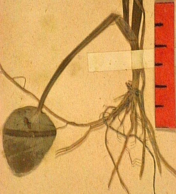 Ranunculus revelieri ra.JPG