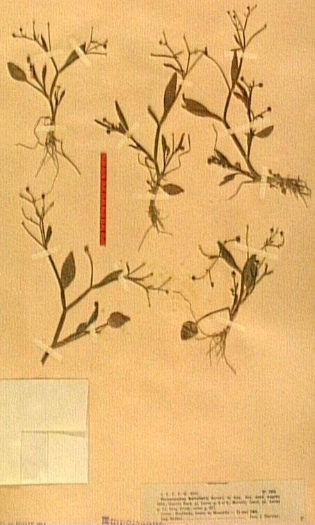 Ranunculus revelieri.JPG
