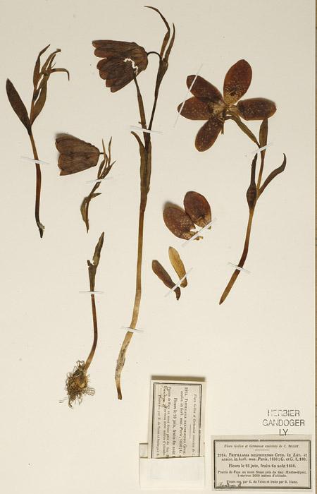 PartGandogerFritillariadelphinensis.jpg
